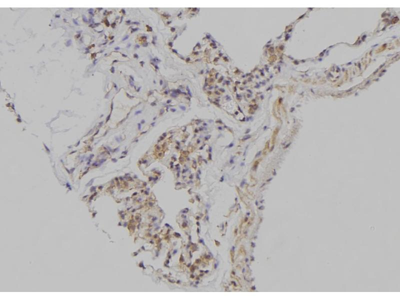 Image no. 1 for anti-Embryonic Ectoderm Development (EED) (pThr55) antibody (ABIN6269533)