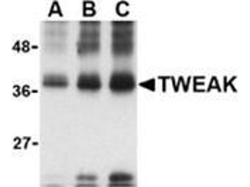 Western Blotting (WB) image for anti-TNFSF12 antibody (Tumor Necrosis Factor (Ligand) Superfamily, Member 12) (ABIN501094)