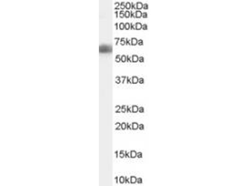Western Blotting (WB) image for anti-DKK3 (AA 340-350), (C-Term) antibody (ABIN150867)