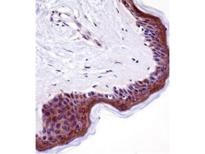 Immunohistochemistry (Paraffin-embedded Sections) (IHC (p)) image for anti-LSM14A, SCD6 Homolog A (S. Cerevisiae) (LSM14A) (AA 310-340), (C-Term) antibody (ABIN953243)