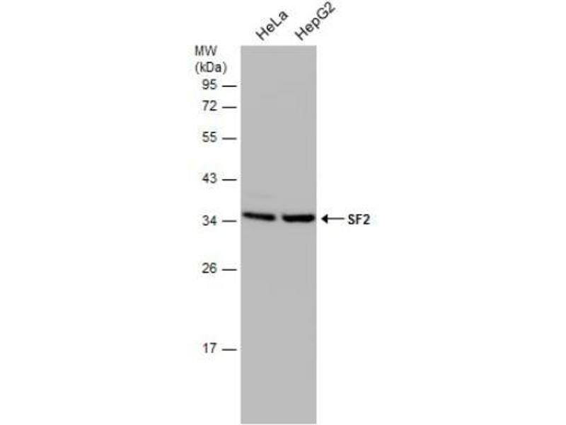 Western Blotting (WB) image for anti-serine/arginine-Rich Splicing Factor 1 (SRSF1) (Center) antibody (ABIN4353084)