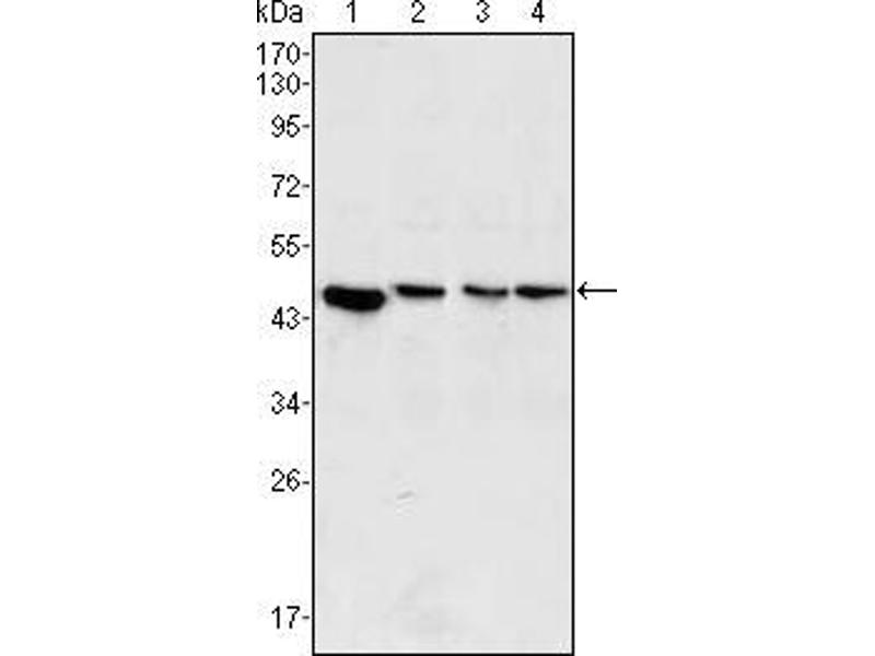 Western Blotting (WB) image for anti-MAP2K2 antibody (Mitogen-Activated Protein Kinase Kinase 2) (ABIN1724726)