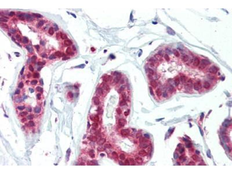 Image no. 1 for anti-Protein Arginine Methyltransferase 1 (PRMT1) (AA 317-346) antibody (ABIN462306)