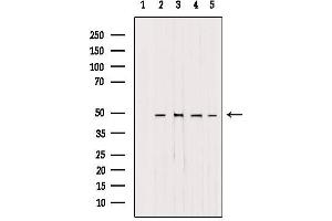 Image no. 1 for anti-Adaptor-Related Protein Complex 1, mu 1 Subunit (AP1M1) antibody (ABIN6259962)