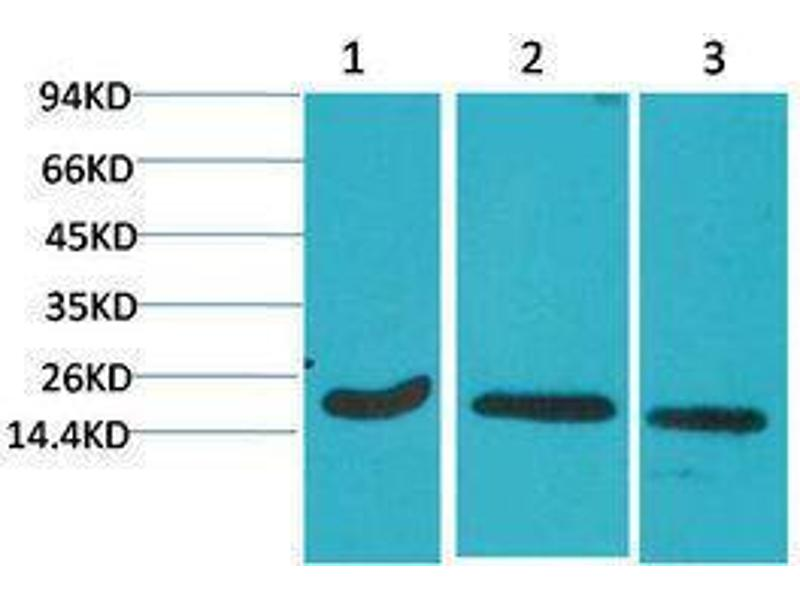 Western Blotting (WB) image for anti-Caspase 3, Apoptosis-Related Cysteine Peptidase (CASP3) antibody (ABIN3188045)