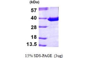 Image no. 1 for Phosphatidylinositol Transfer Protein, alpha (PITPNA) (AA 1-270) protein (His tag) (ABIN667295)