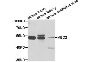 Image no. 2 for anti-Methyl-CpG Binding Domain Protein 2 (MBD2) antibody (ABIN6569193)