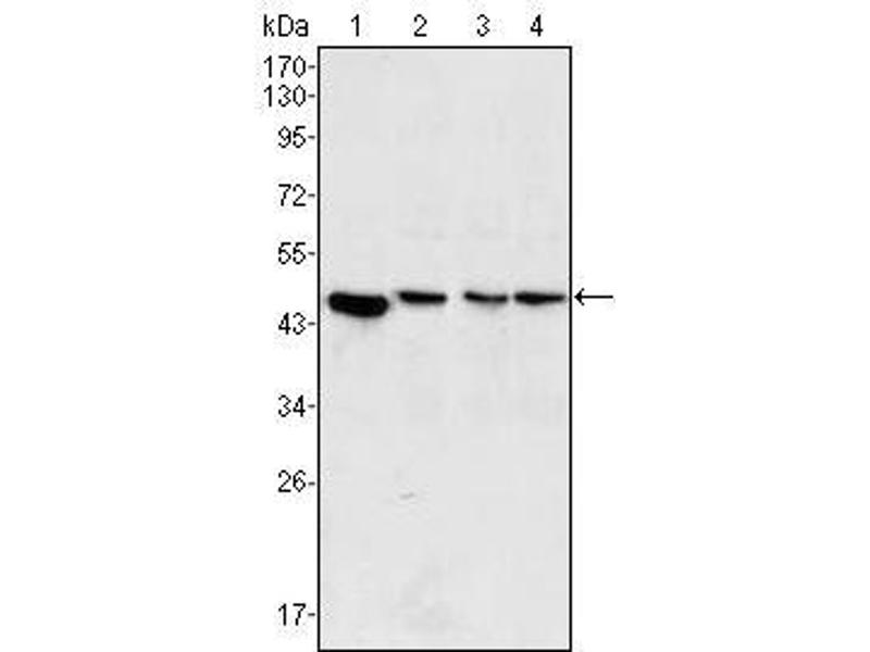 Western Blotting (WB) image for anti-Mitogen-Activated Protein Kinase Kinase 2 (MAP2K2) antibody (ABIN2869479)