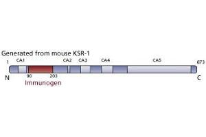 image for anti-Kinase Suppressor of Ras 1 (KSR1) (AA 90-203) antibody (ABIN968600)