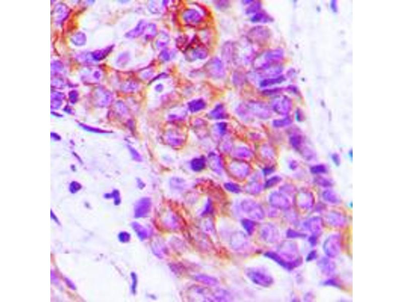 Immunohistochemistry (IHC) image for anti-Adenylate Cyclase 9 (ADCY9) (N-Term) antibody (ABIN2707307)