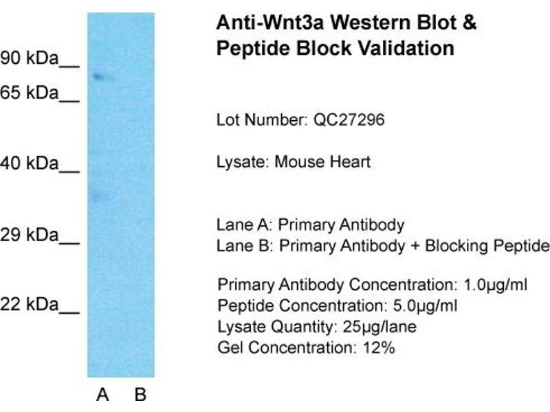 Western Blotting (WB) image for anti-Wingless-Type MMTV Integration Site Family, Member 3A (WNT3A) (C-Term) antibody (ABIN2787842)