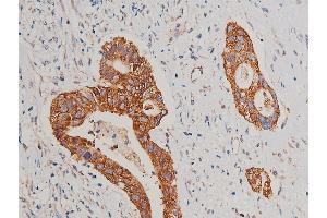 Immunohistochemistry (IHC) image for anti-Cytochrome C, Somatic (CYCS) antibody (ABIN6269420)