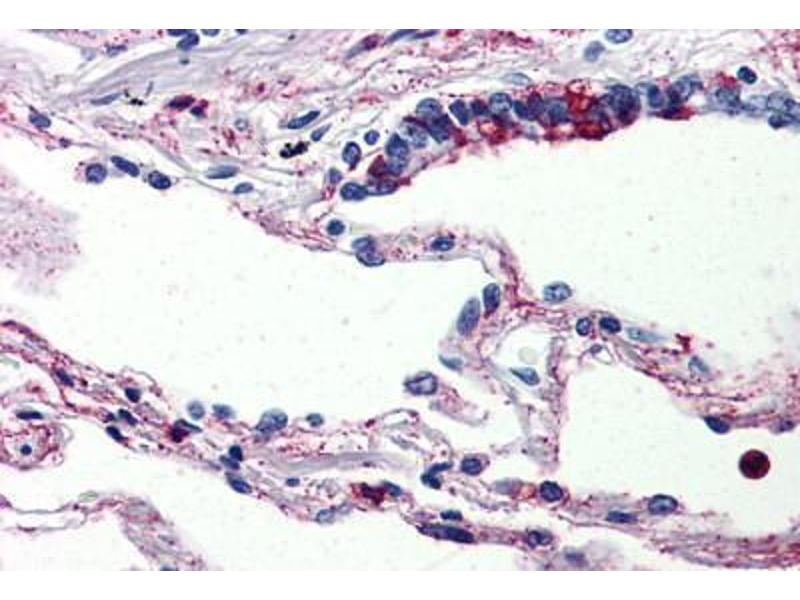 Image no. 2 for anti-Complement Component 5a Receptor 1 (C5AR1) (Internal Region) antibody (ABIN461687)