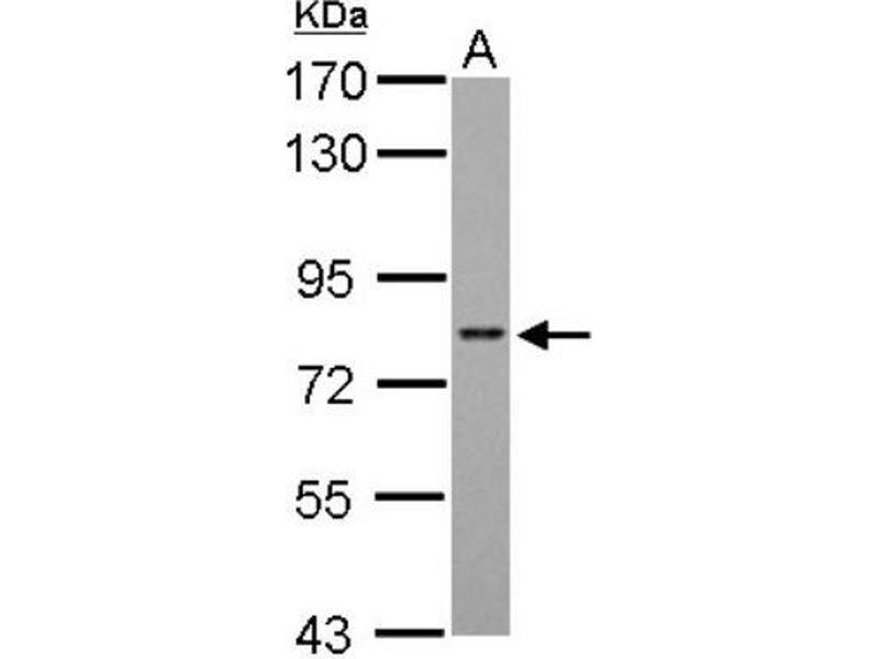 Western Blotting (WB) image for anti-AT Rich Interactive Domain 3A (BRIGHT-Like) (ARID3A) (Center) antibody (ABIN441423)