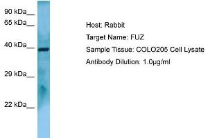 Image no. 1 for anti-Fuzzy Homolog (Drosophila) (FUZ) (C-Term) antibody (ABIN2790036)