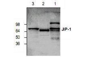 Western Blotting (WB) image for anti-MAPK8IP1 antibody (Mitogen-Activated Protein Kinase 8 Interacting Protein 1) (ABIN223343)