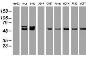 Image no. 3 for anti-Oxidative-Stress Responsive 1 (OXSR1) antibody (ABIN1499946)