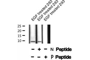 Image no. 1 for anti-phosphodiesterase 6G, CGMP-Specific, Rod, gamma (PDE6G) (pThr22) antibody (ABIN6271764)