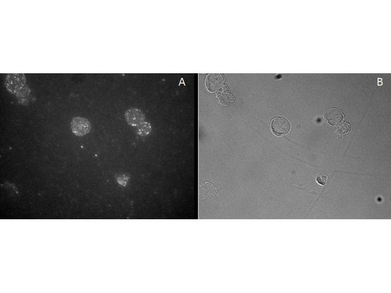 Image no. 1 for anti-FOXP3 antibody (Forkhead Box P3) (C-Term) (ABIN374156)