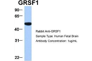 Image no. 4 for anti-G-Rich RNA Sequence Binding Factor 1 (GRSF1) (Middle Region) antibody (ABIN2778788)