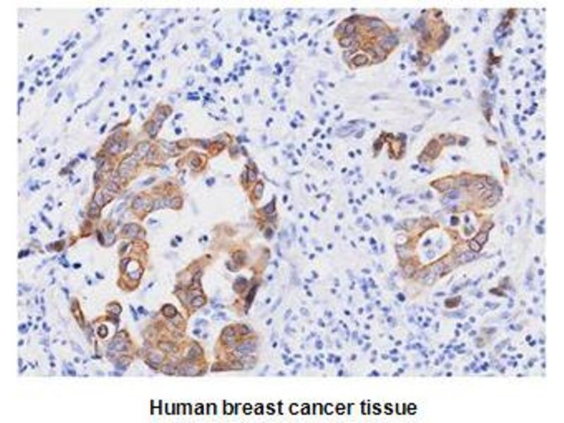 Immunohistochemistry (IHC) image for anti-FADD antibody (Fas (TNFRSF6)-Associated Via Death Domain) (AA 1-208) (ABIN317514)