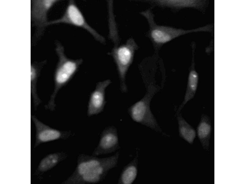 Immunofluorescence (IF) image for anti-CDK2 antibody (Cyclin-Dependent Kinase 2) (AA 109-298) (ABIN967776)