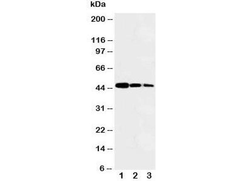 Image no. 3 for anti-V-Myb Myeloblastosis Viral Oncogene Homolog (Avian)-Like 2 (MYBL2) (N-Term) antibody (ABIN3029533)