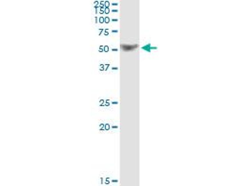 Immunoprecipitation (IP) image for anti-TNF Receptor-Associated Factor 1 (TRAF1) (AA 1-416), (full length) antibody (ABIN521084)