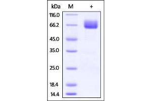Image no. 2 for CD80 (CD80) (AA 35-242) (Active) protein (Fc Tag) (ABIN2870587)