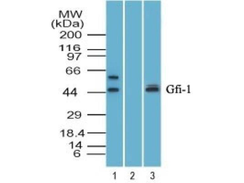 Western Blotting (WB) image for anti-Zinc Finger Protein 163 (ZNF163) antibody (ABIN4313993)