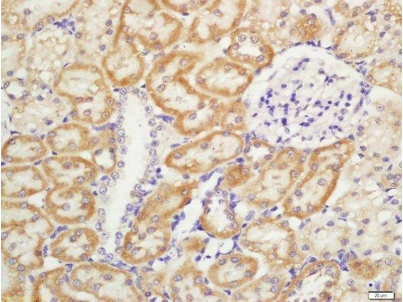 Immunohistochemistry (Paraffin-embedded Sections) (IHC (p)) image for anti-CD11b antibody (Integrin alpha M) (AA 520-570) (ABIN741285)