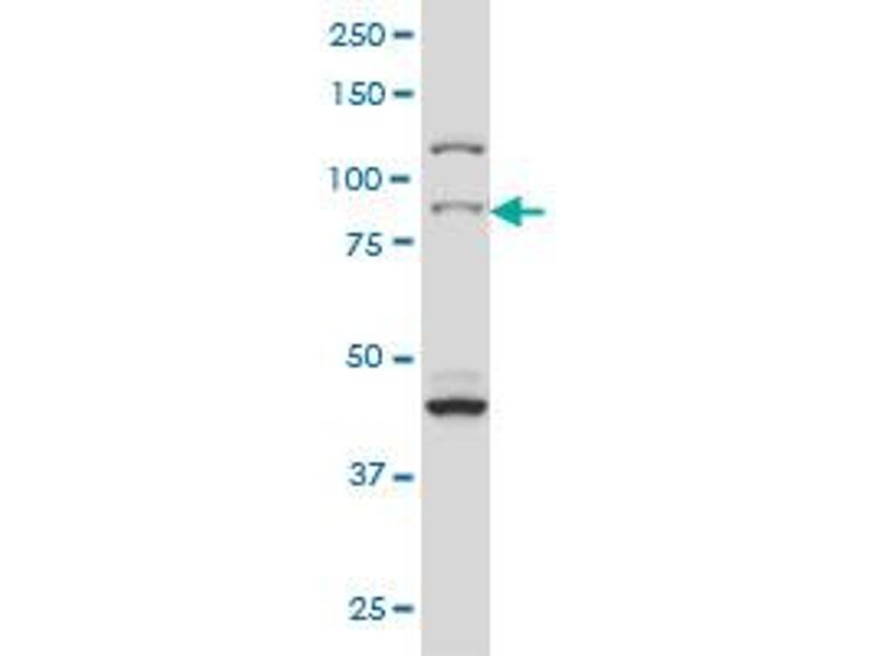 Western Blotting (WB) image for anti-RPS6KA2 antibody (Ribosomal Protein S6 Kinase, 90kDa, Polypeptide 2) (AA 631-733) (ABIN562719)