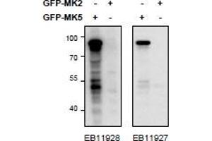 image for anti-MAPKAP Kinase 5 antibody (Mitogen-Activated Protein Kinase-Activated Protein Kinase 5) (Internal Region) (ABIN1590011)