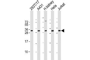 Image no. 7 for anti-DNA-Damage-Inducible Transcript 4 (DDIT4) (AA 20-49), (N-Term) antibody (ABIN390207)