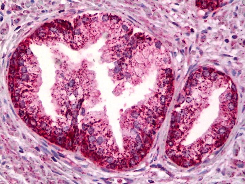 Image no. 2 for anti-Prostaglandin E Receptor 4 (Subtype EP4) (PTGER4) antibody (ABIN2451693)