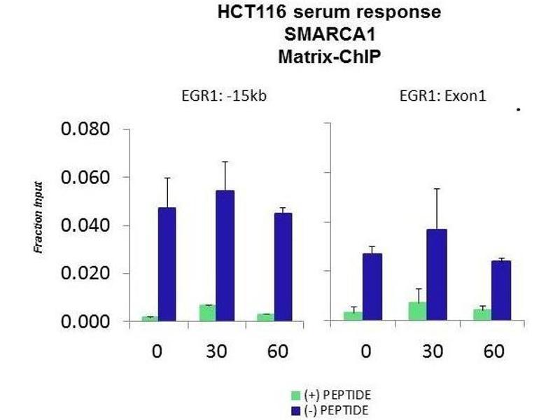 Chromatin Immunoprecipitation (ChIP) image for anti-SMARCA1 antibody (SWI/SNF Related, Matrix Associated, Actin Dependent Regulator of Chromatin, Subfamily A, Member 1) (N-Term) (ABIN2780460)