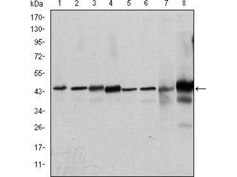 Western Blotting (WB) image for anti-MAPK3 antibody (Mitogen-Activated Protein Kinase 3) (ABIN969277)