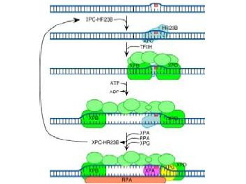 Image no. 2 for anti-RAD23 Homolog B (S. Cerevisiae) (RAD23B) (AA 163-176) antibody (ABIN401177)