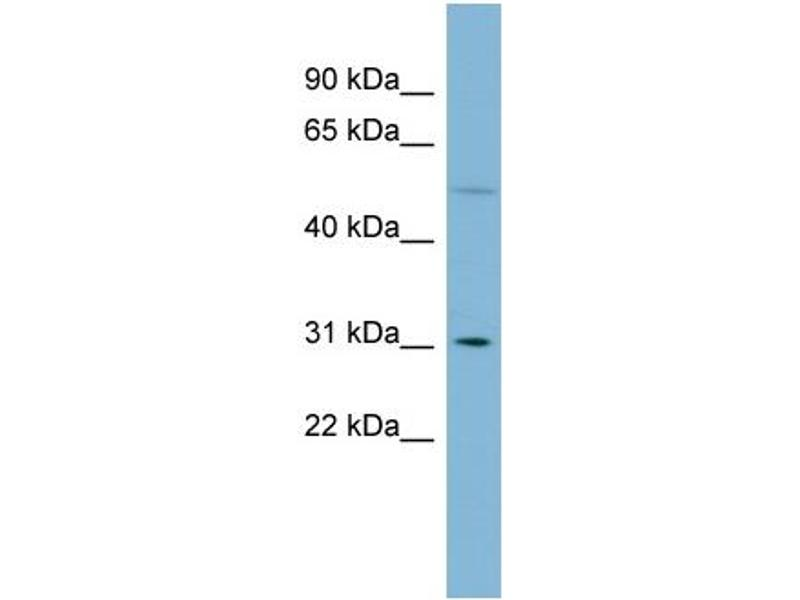 Western Blotting (WB) image for anti-Mitochondrial Ribosomal Protein L28 (MRPL28) (Middle Region) antibody (ABIN503321)