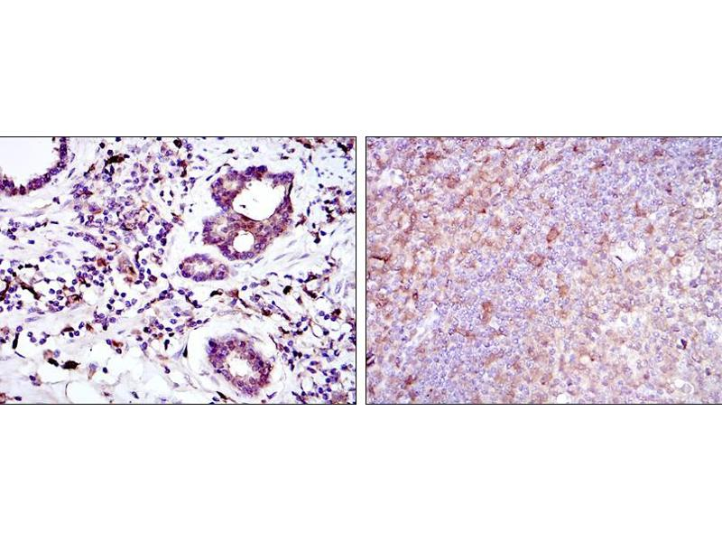Immunohistochemistry (IHC) image for anti-BID antibody (BH3 Interacting Domain Death Agonist) (ABIN968979)