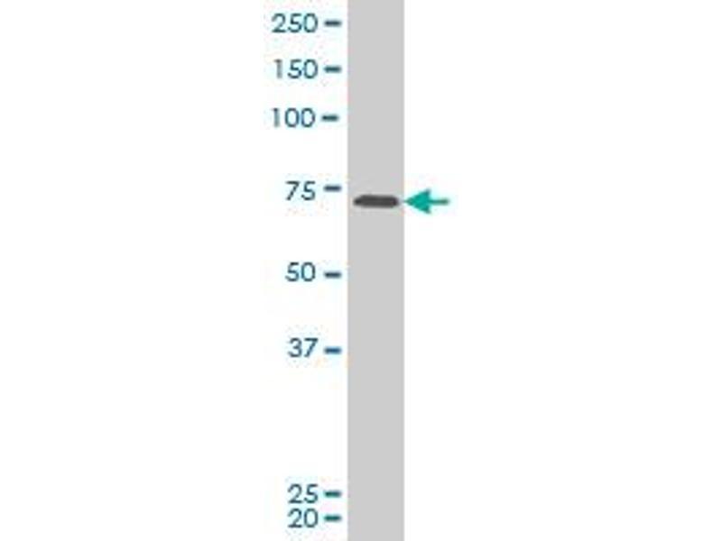 Image no. 1 for anti-PAS Domain Containing 1 (PASD1) (AA 1-100) antibody (ABIN530755)