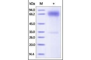 Image no. 1 for CD274 Molecule (CD274) (AA 19-238) (Active) protein (Fc Tag) (ABIN2181638)