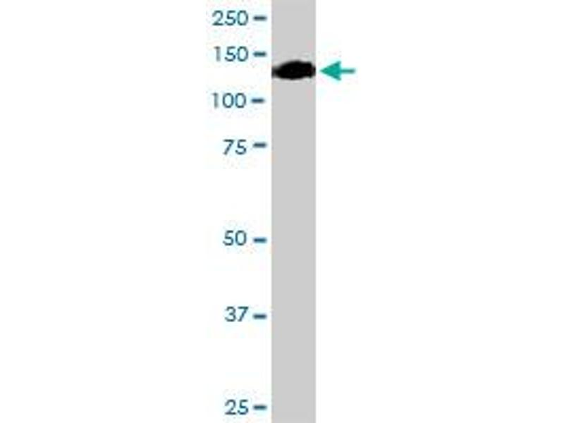 Western Blotting (WB) image for anti-Oncostatin M Receptor antibody (OSMR) (AA 1-342) (ABIN522639)