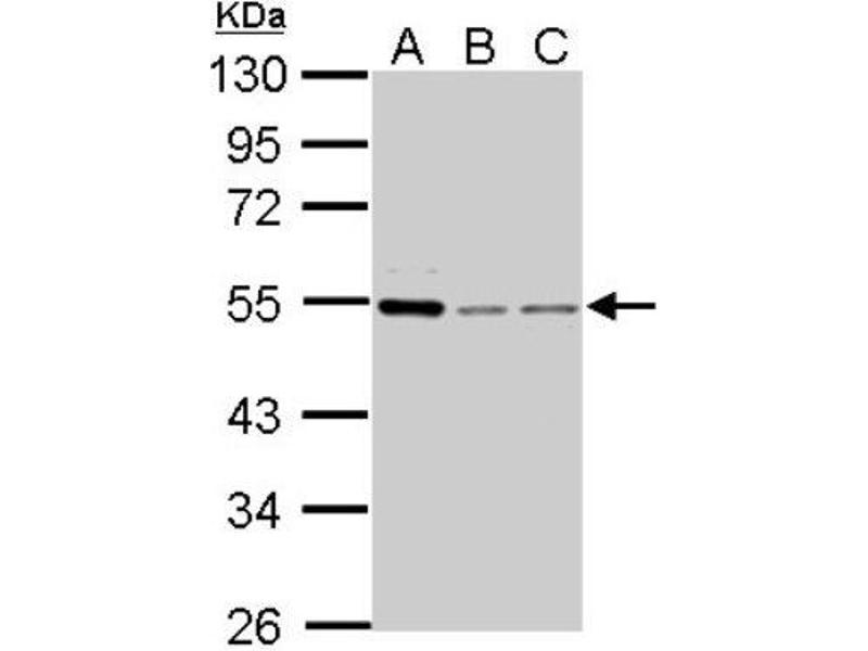 Western Blotting (WB) image for anti-Cyclin A antibody (Cyclin A2) (Center) (ABIN441337)