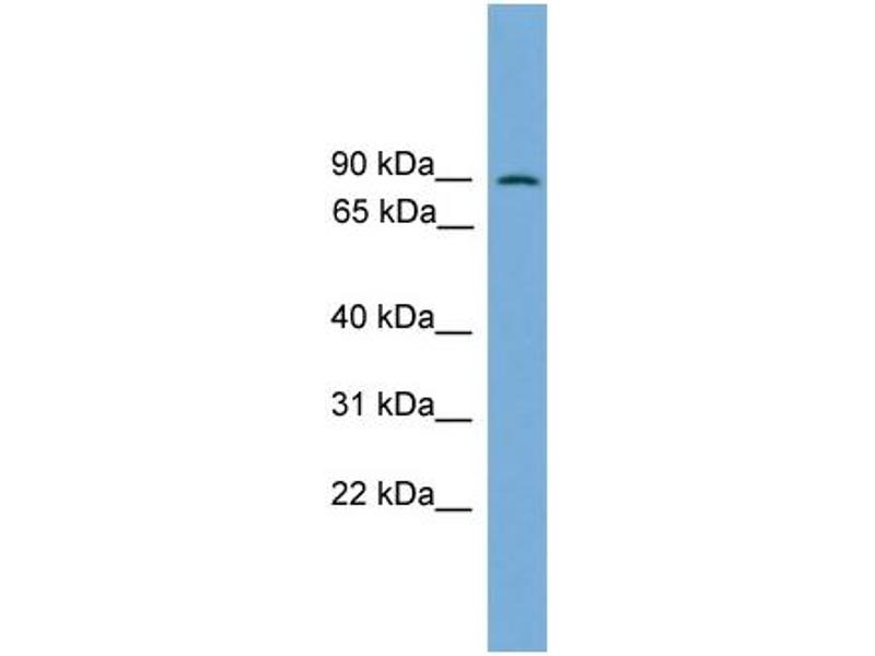 Western Blotting (WB) image for anti-Mitogen-Activated Protein Kinase 7 (MAPK7) (Middle Region) antibody (ABIN2787362)