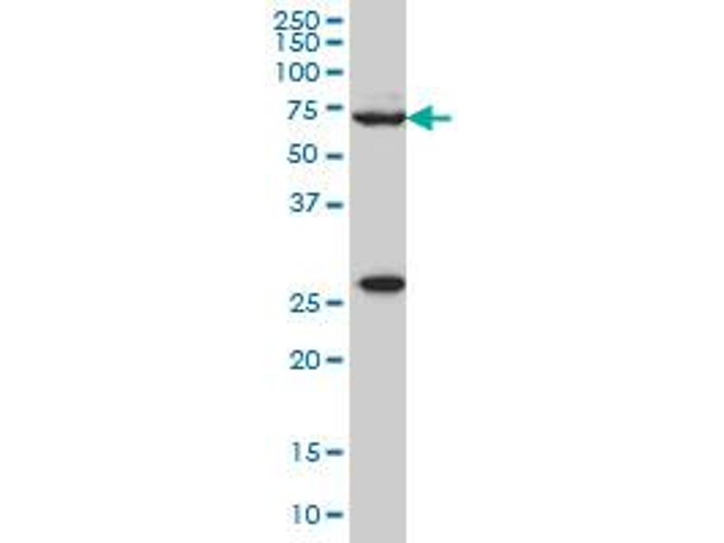 Western Blotting (WB) image for anti-WAS Protein Family, Member 2 (WASF2) (AA 73-172), (partial) antibody (ABIN564398)
