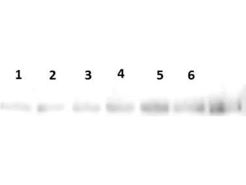 Western Blotting (WB) image for anti-Toll-Like Receptor 3 (TLR3) (AA 800-904), (C-Term) antibody (ABIN410026)