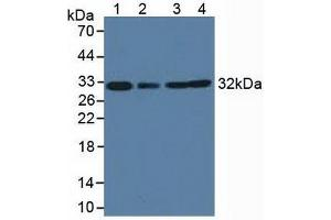 Image no. 1 for anti-Complement Component 1, Q Subcomponent Binding Protein (C1QBP) (AA 71-278) antibody (ABIN5013718)