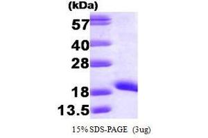 Image no. 1 for Non-Metastatic Cells 1, Protein (NM23A) Expressed in (NME1) (AA 1-152) protein (ABIN935048)