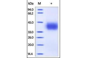 Image no. 1 for CD274 Molecule (CD274) (AA 19-238) (Active) protein (His tag) (ABIN2181639)
